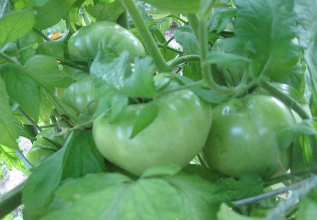 My Green Tomatoes