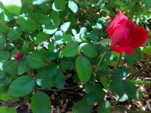 My Roses are Beginning