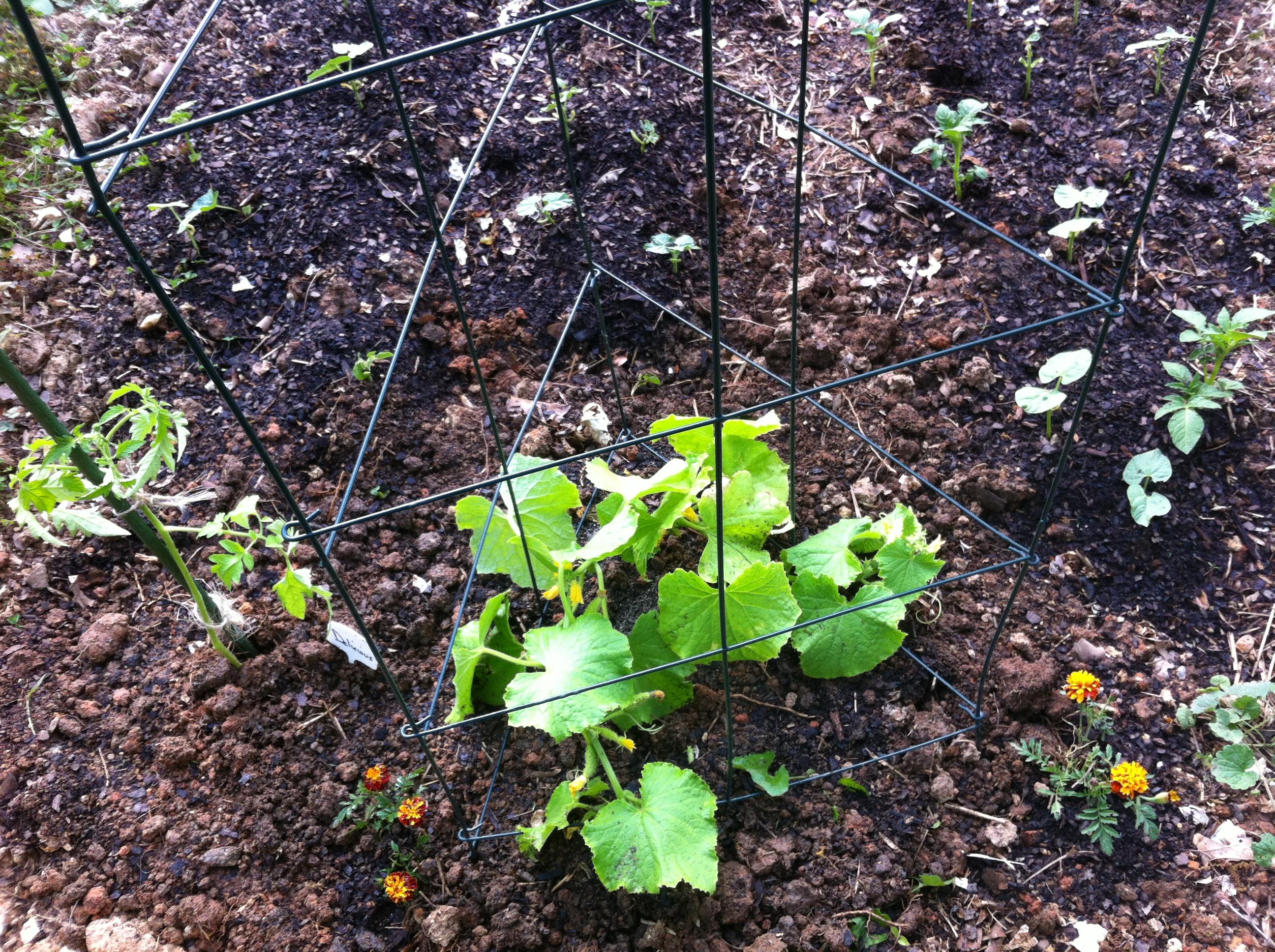 Bush Pickle Cucumber Growing In My Gardengrowing In My