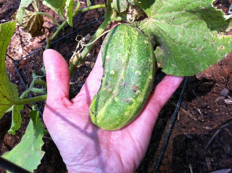 I Have a Cucumber!