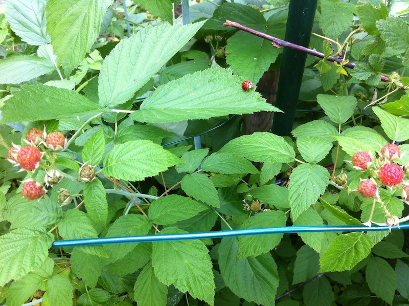 Black Raspberries are Comin!
