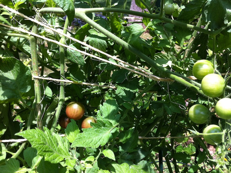 Tomatoes - It's Hot Outside