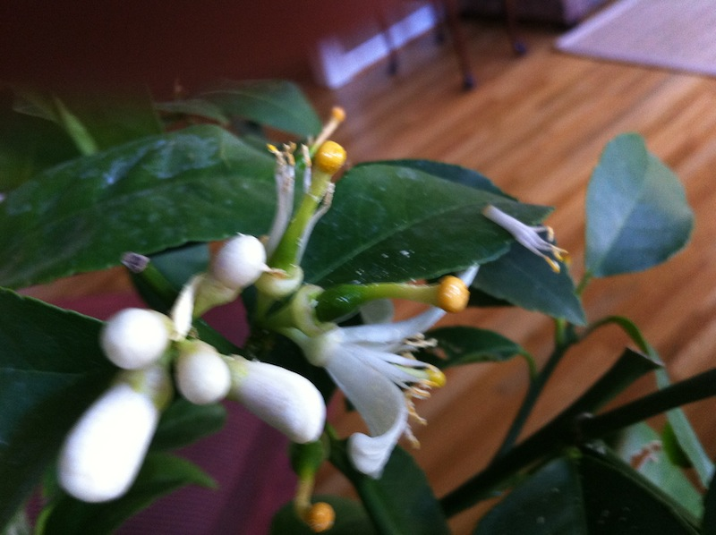 Meyer Lemon Tree – growing and fertilizing
