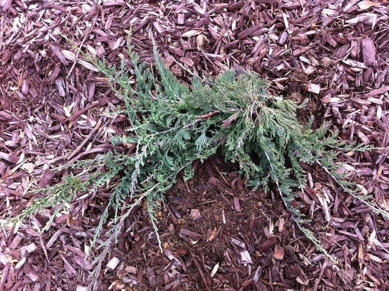 Planted Japanese Yew, Blue Rug Juniper, Blue Star Juniper