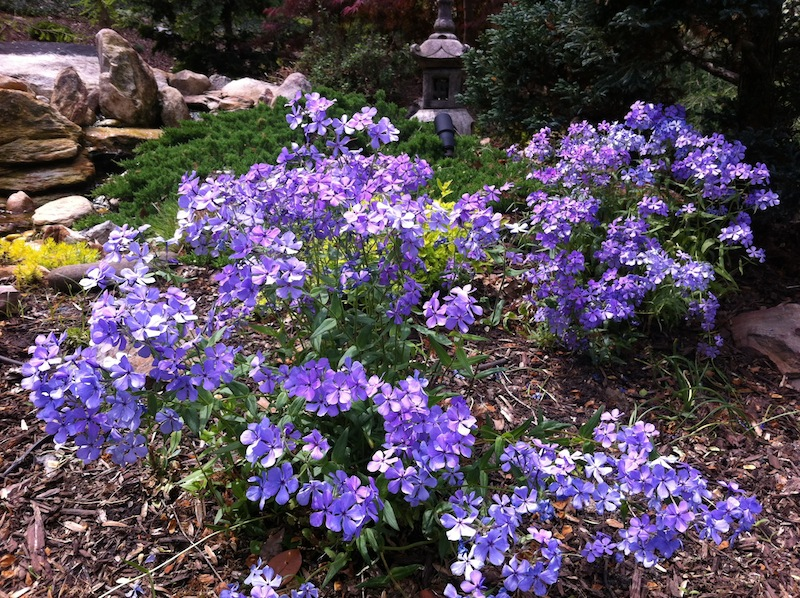 Blue Woodland Phlox