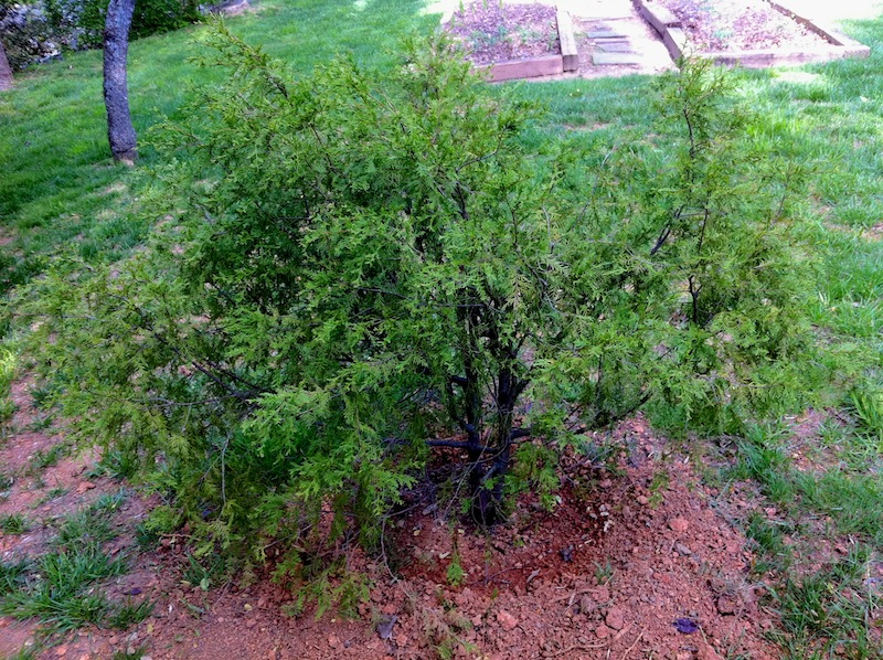 Dwarf Yellow Cedar