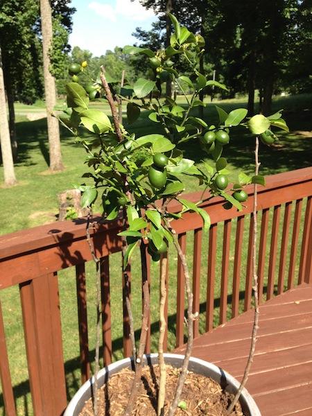Meyer Lemon Tree, update