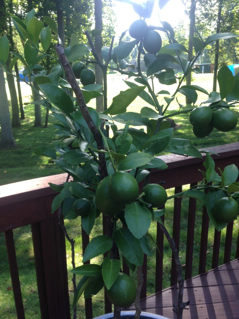 20 Lemons on the Meyer Lemon Tree