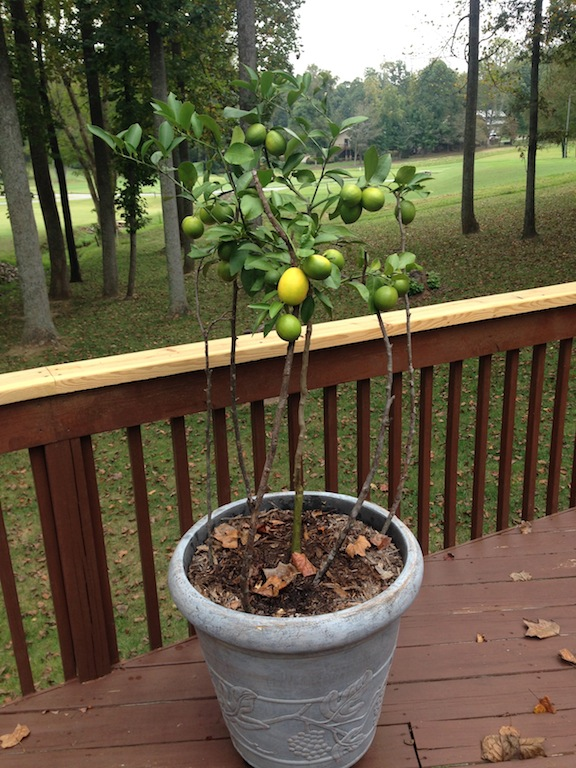 Meyer Lemon Tree - 8 Month Update