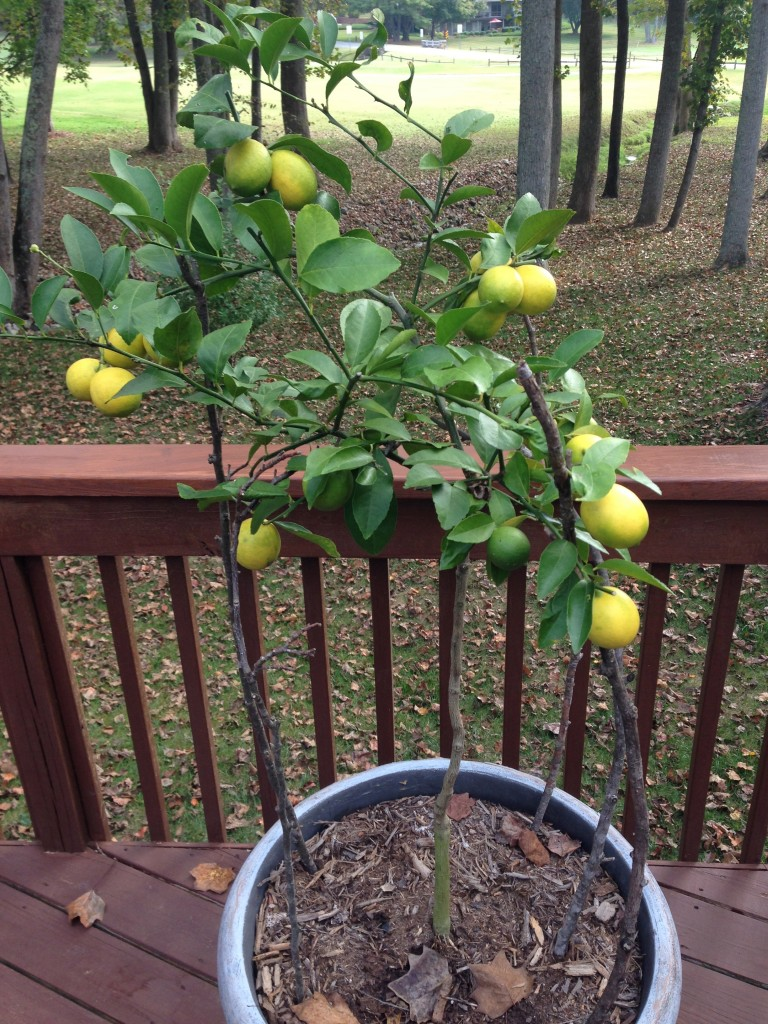 Meyer Lemons - 8 Months from Flower to Fruit